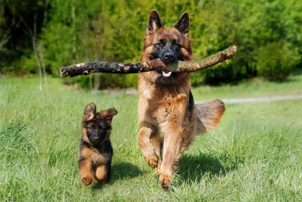 Schäferhund Rasse Tierbedarf