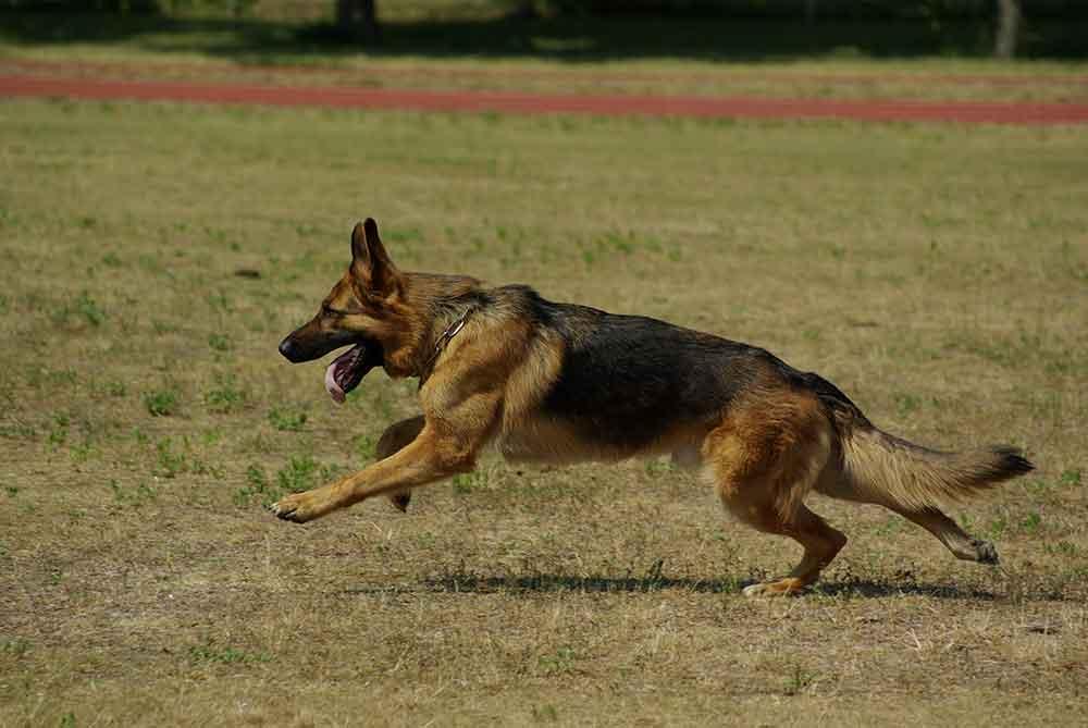 German Shepherd Hunde Tierbedarf