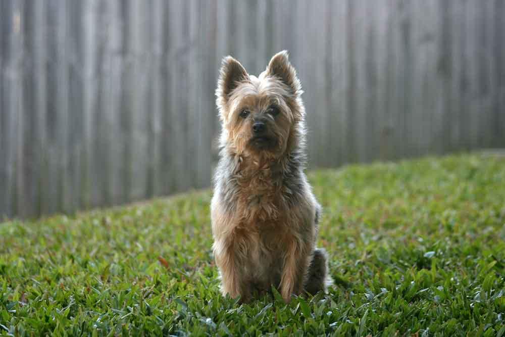 Australien Silky Terrier